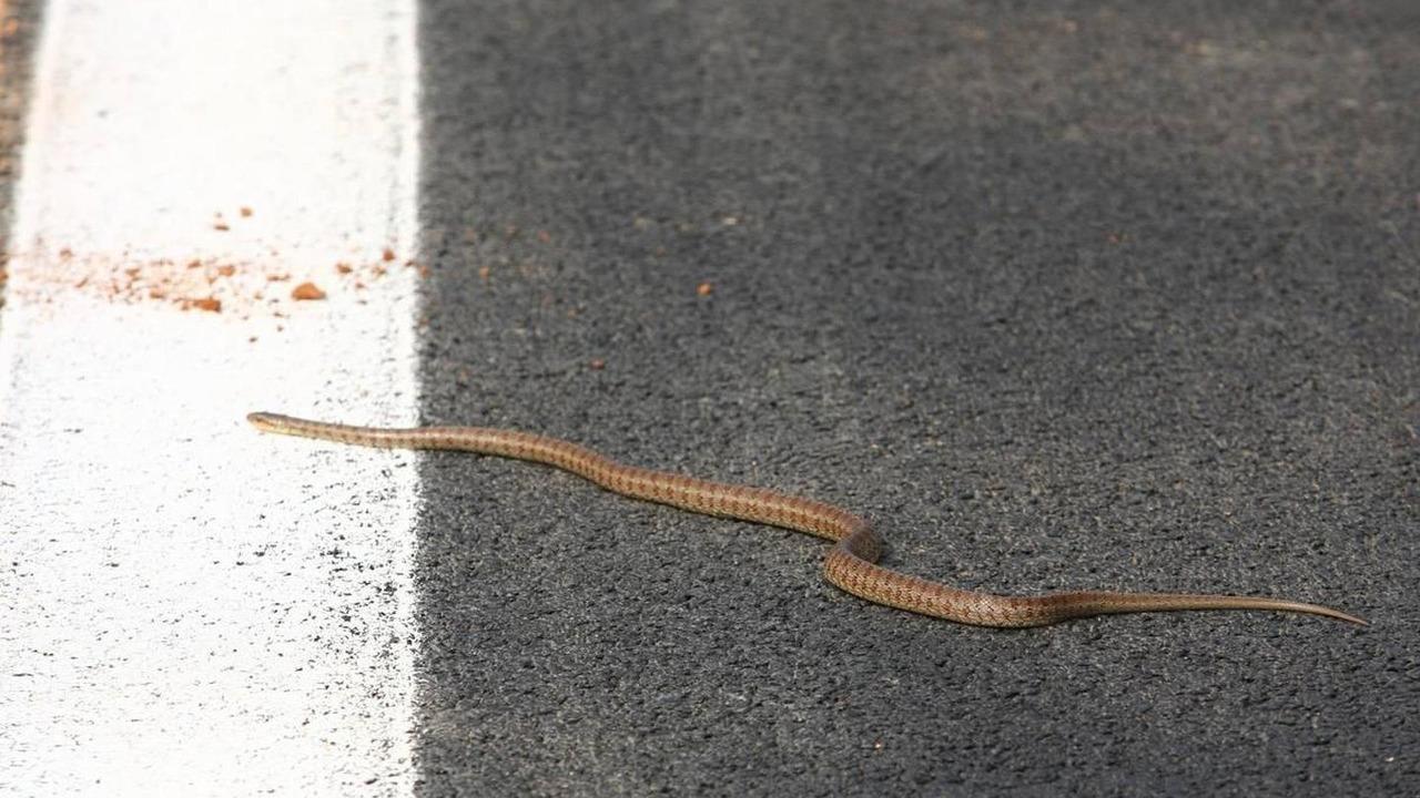 A Snake on the track - Formula 1 World Championship, Rd 17, Korean Grand Prix, 21.10.2010 Yeongam, Korea