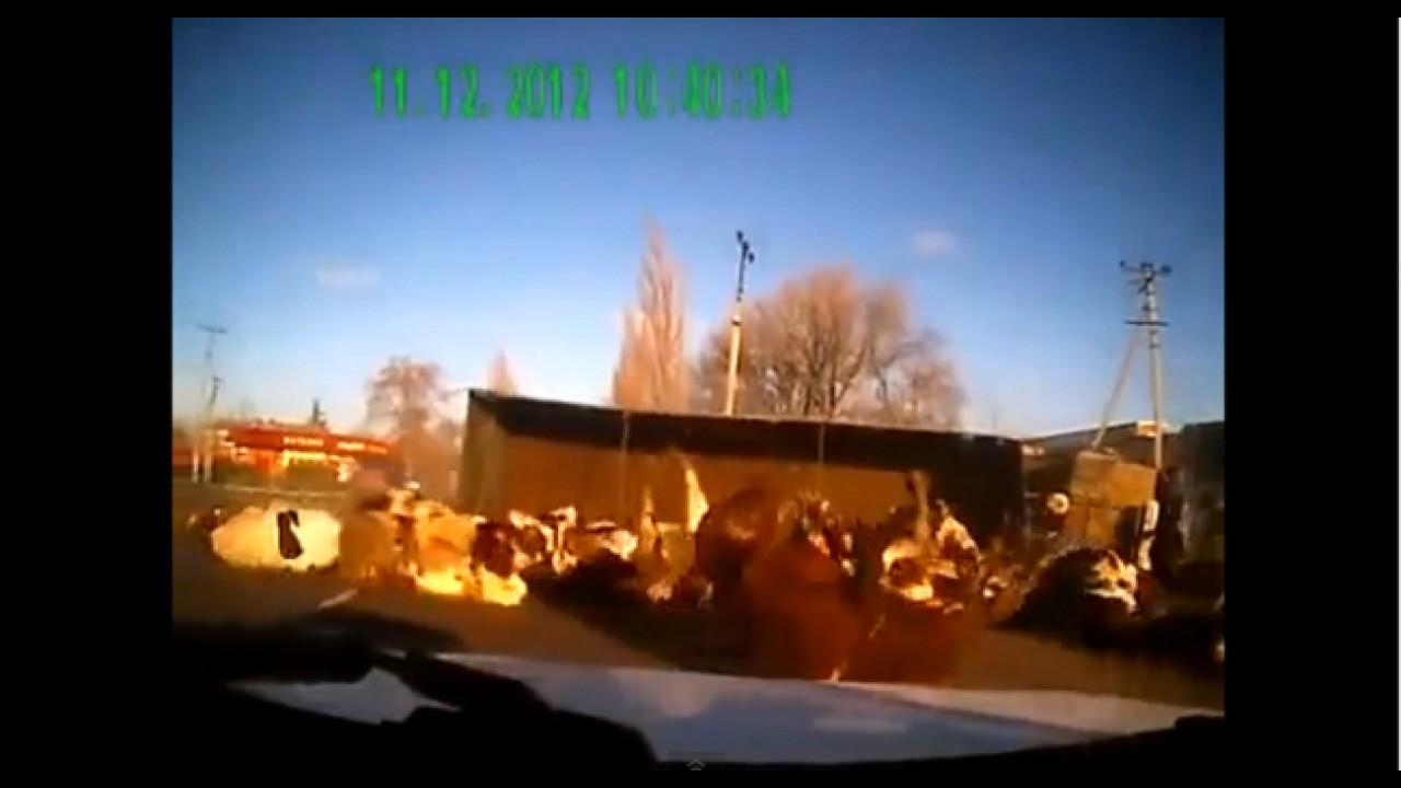 VÍDEO: Cuidado, vacas na pista!