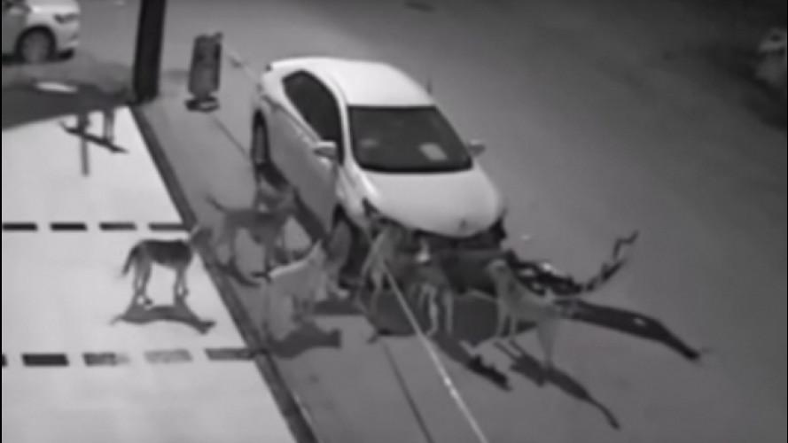 Auto attaccata dai cani in Turchia, il video è virale